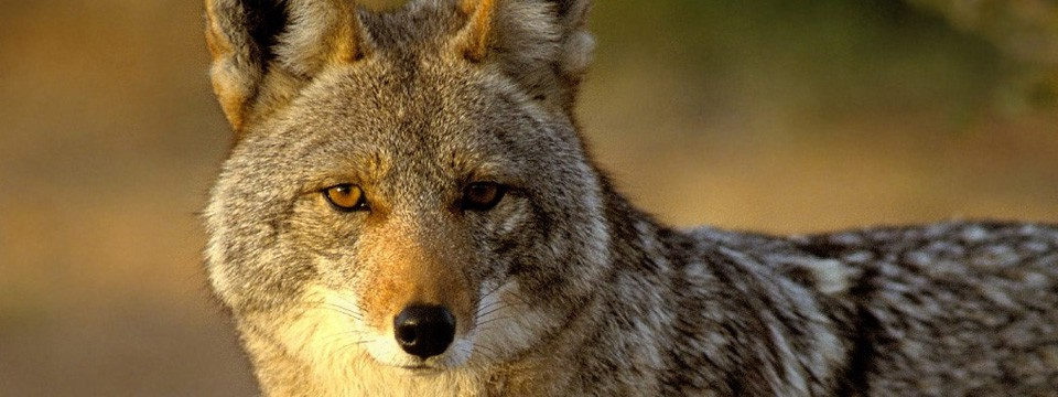 From Lyndhurst Animal Control: Coyotes